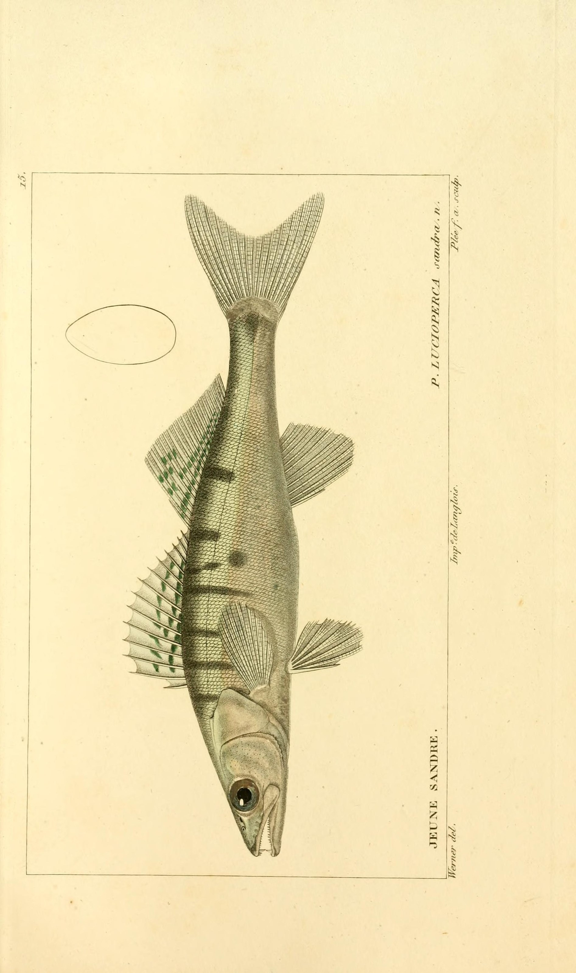 Image of Pike perch