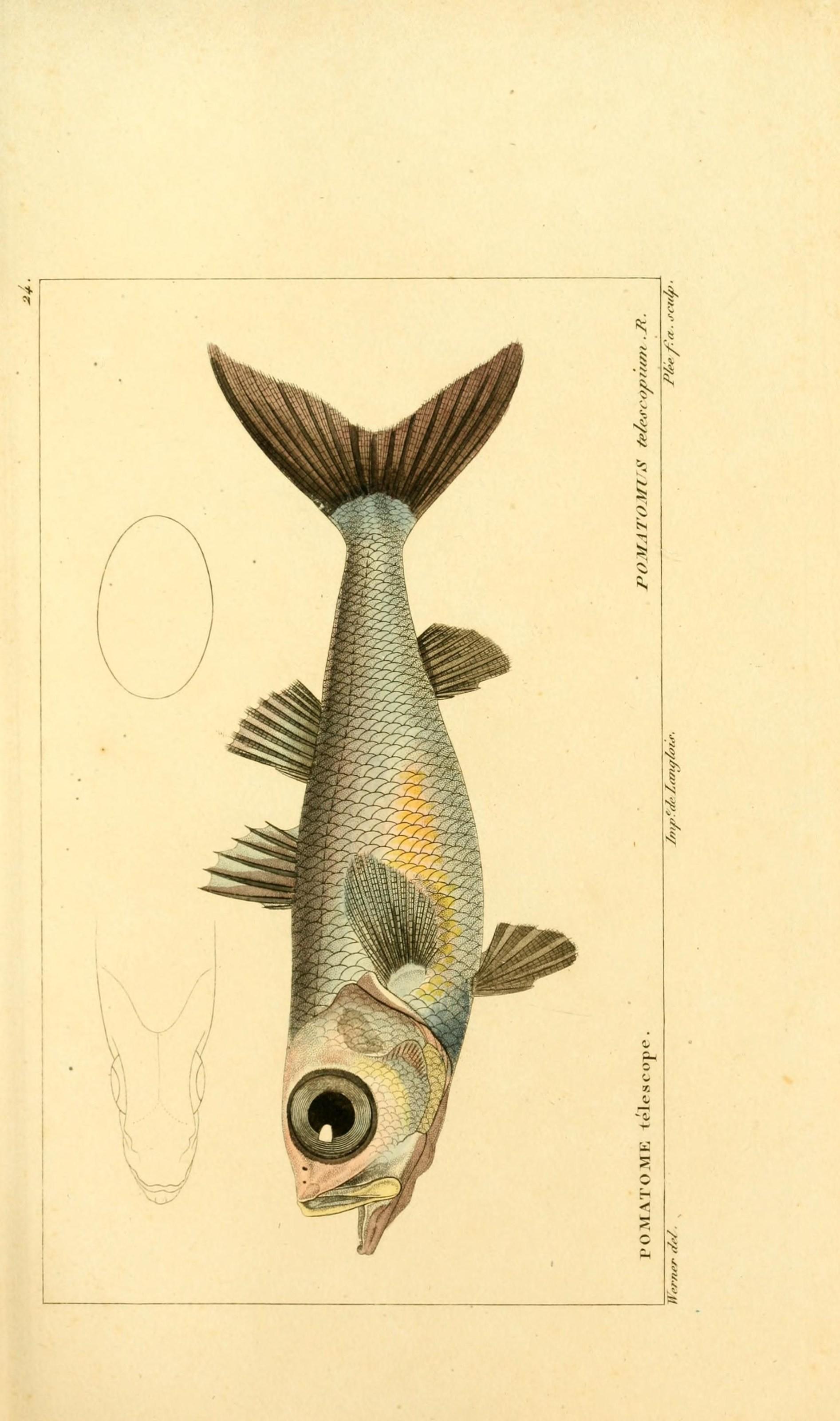 Image of Bigeye