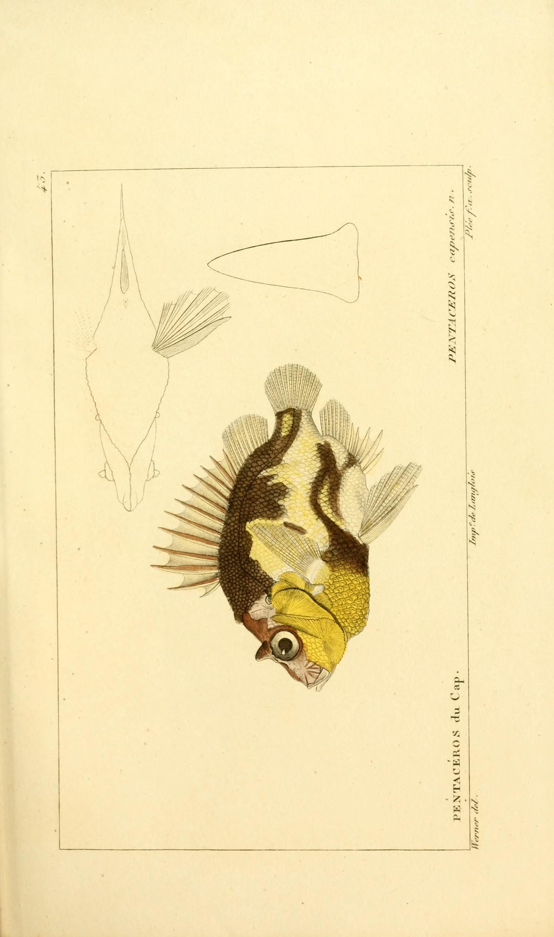 Image of Cape armorhead