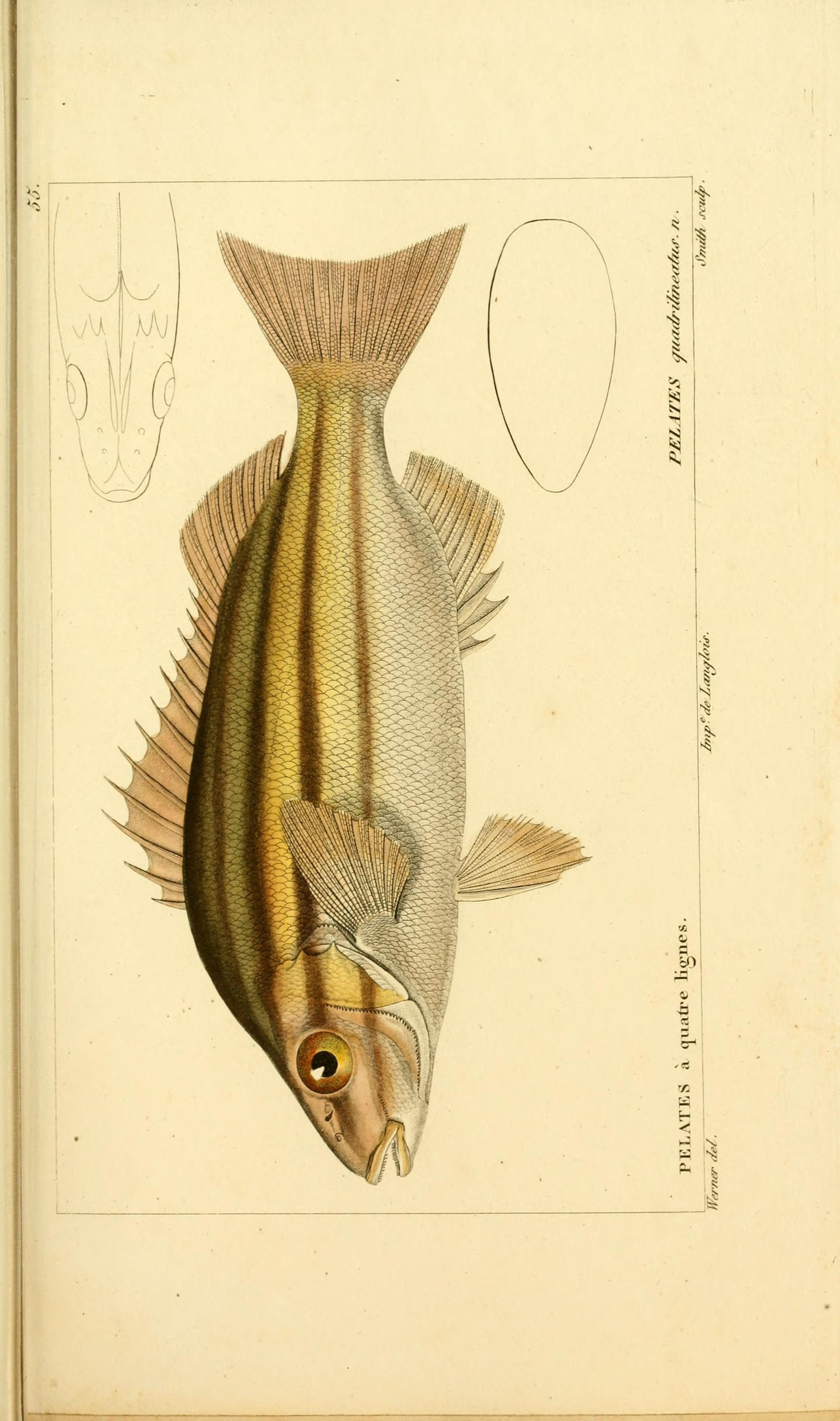 Image of <i>Pelates quadrilineatus</i> (Bloch 1790)