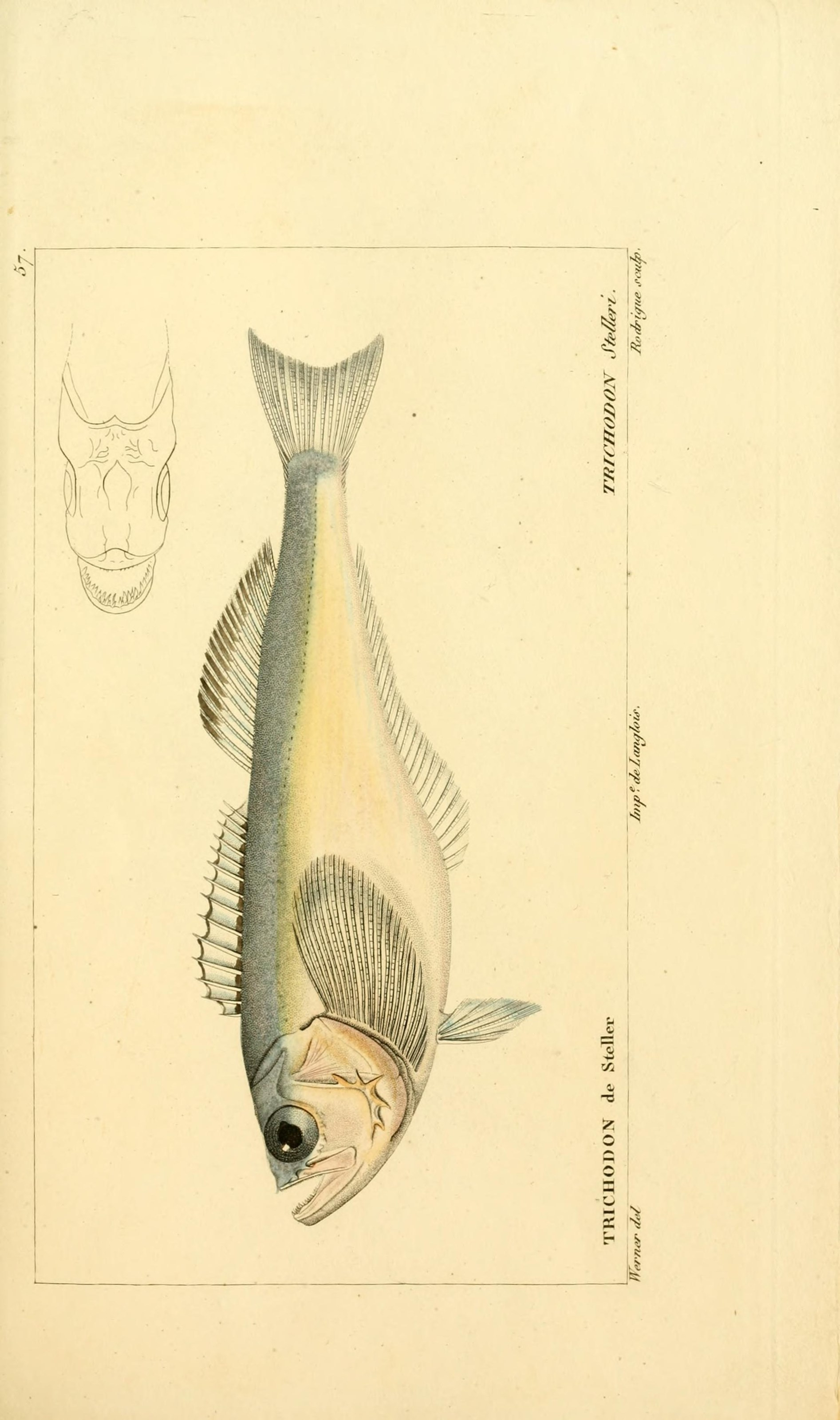 Image of Pacific sandfish