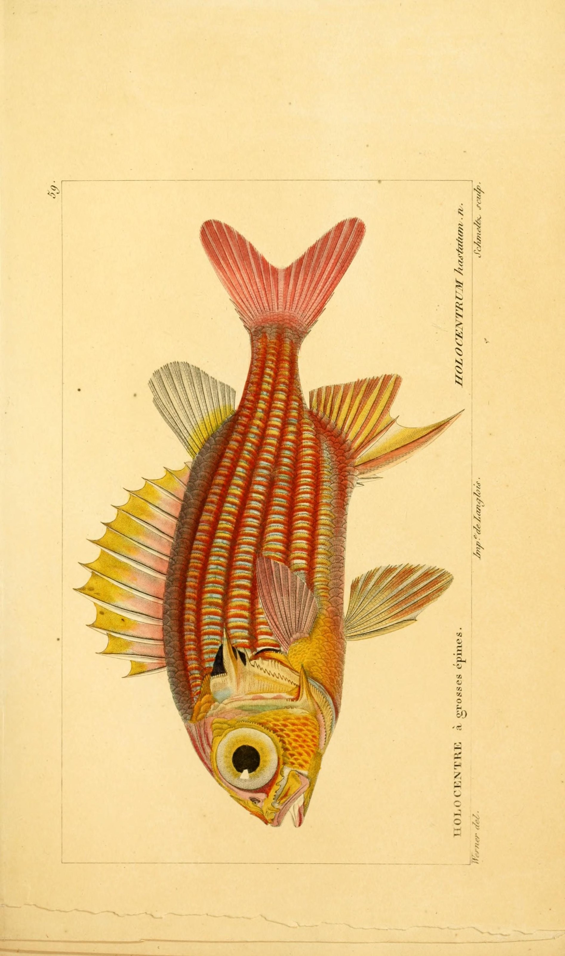Image of Red Soldierfish