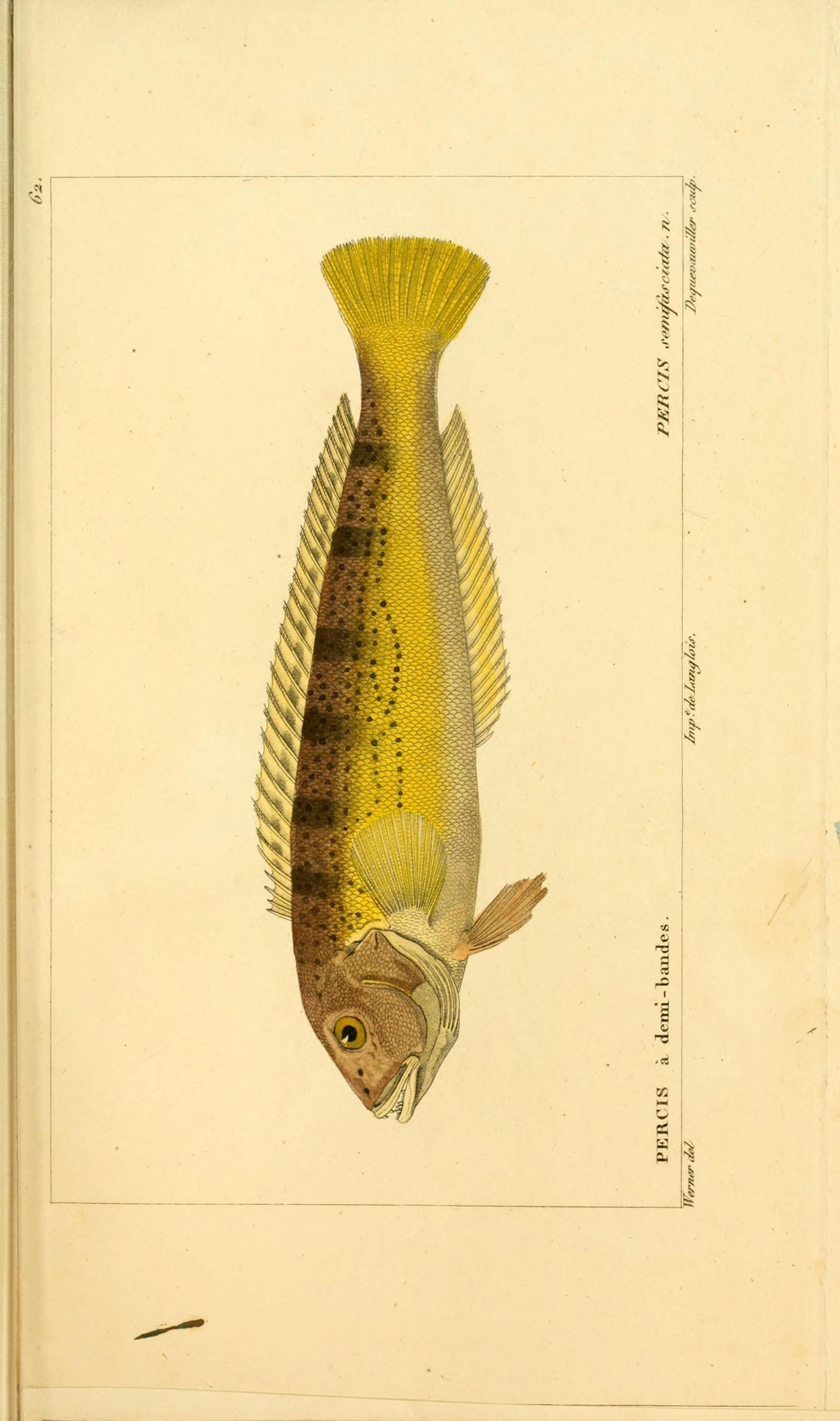 Image of <i>Pseudopercis semifasciata</i> (Cuvier 1829)