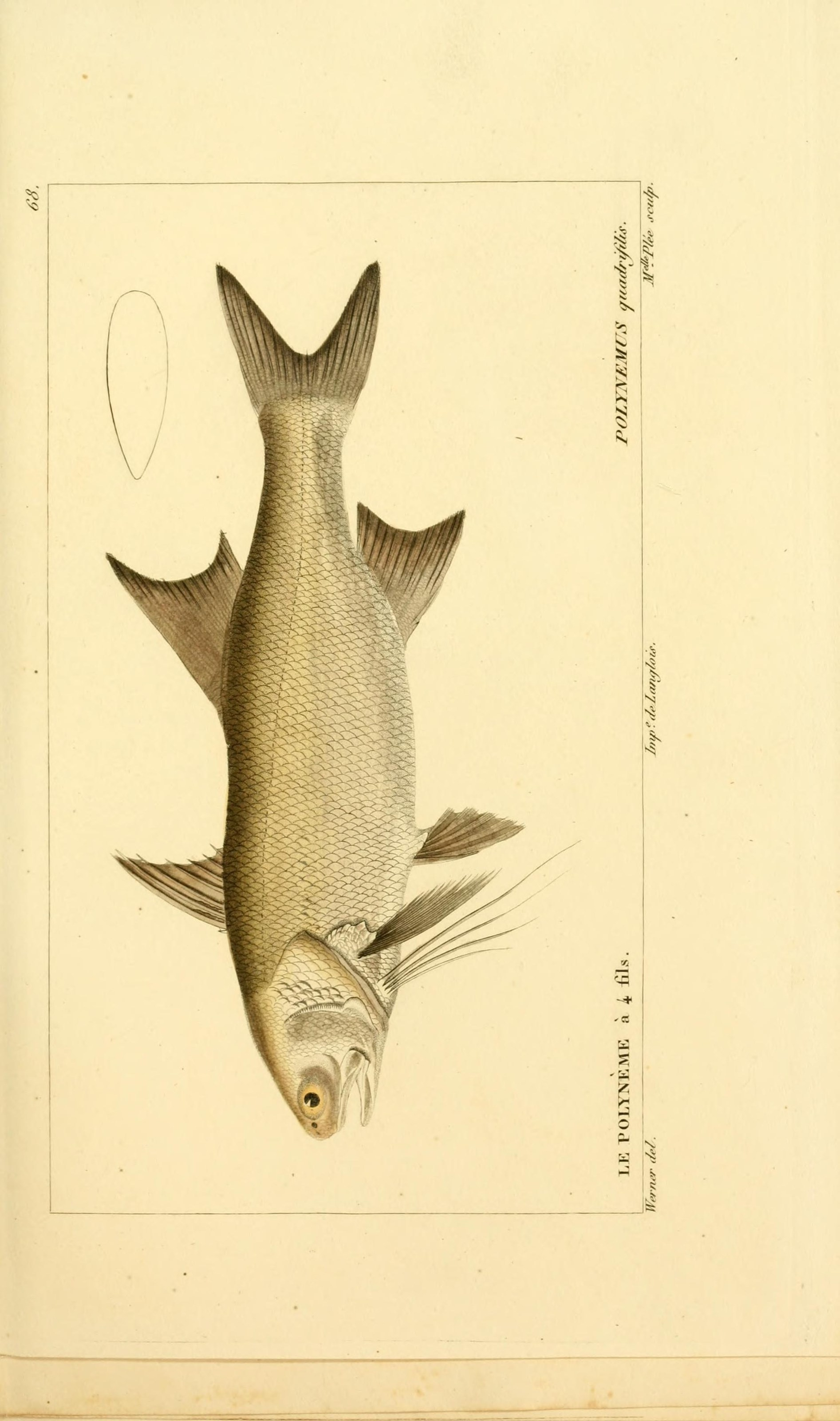 Image of Giant African threadfin