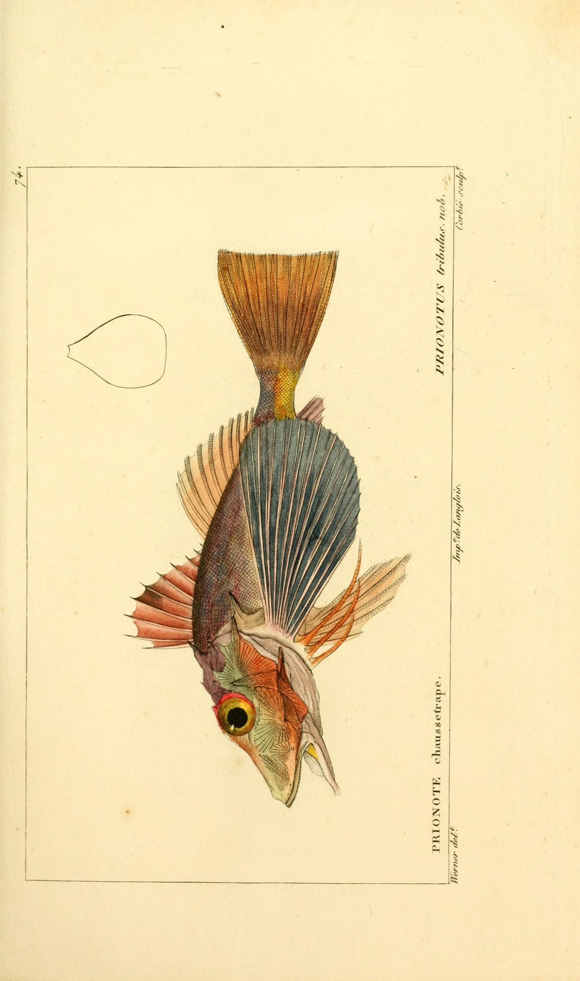 Image of Bighead searobin