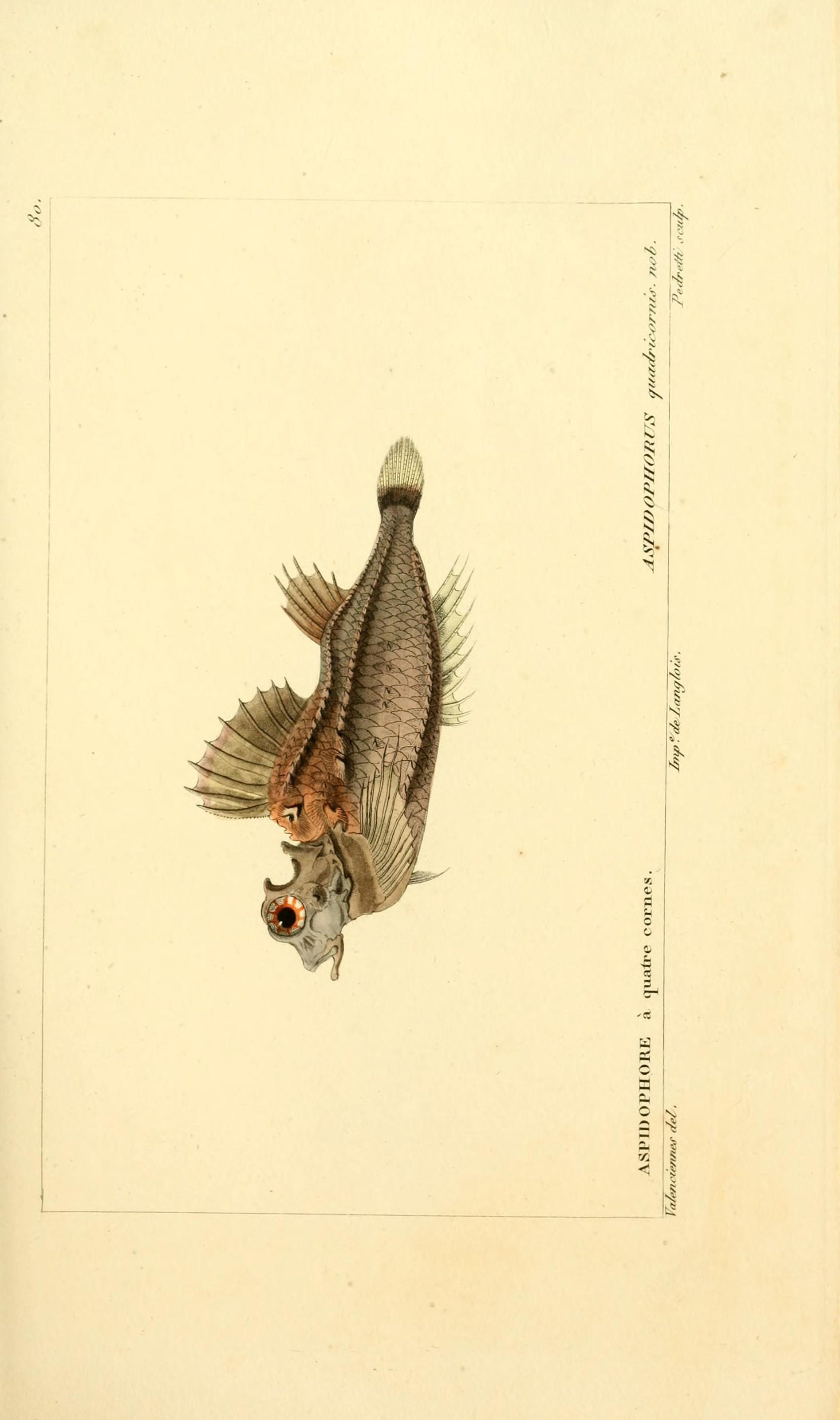 Image of fourhorn poacher