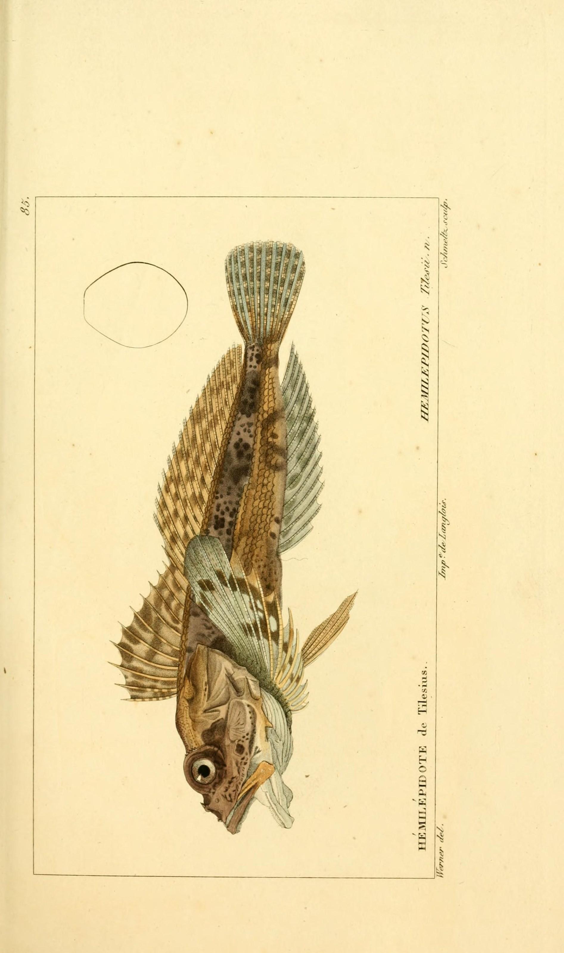 Image of Bullhead