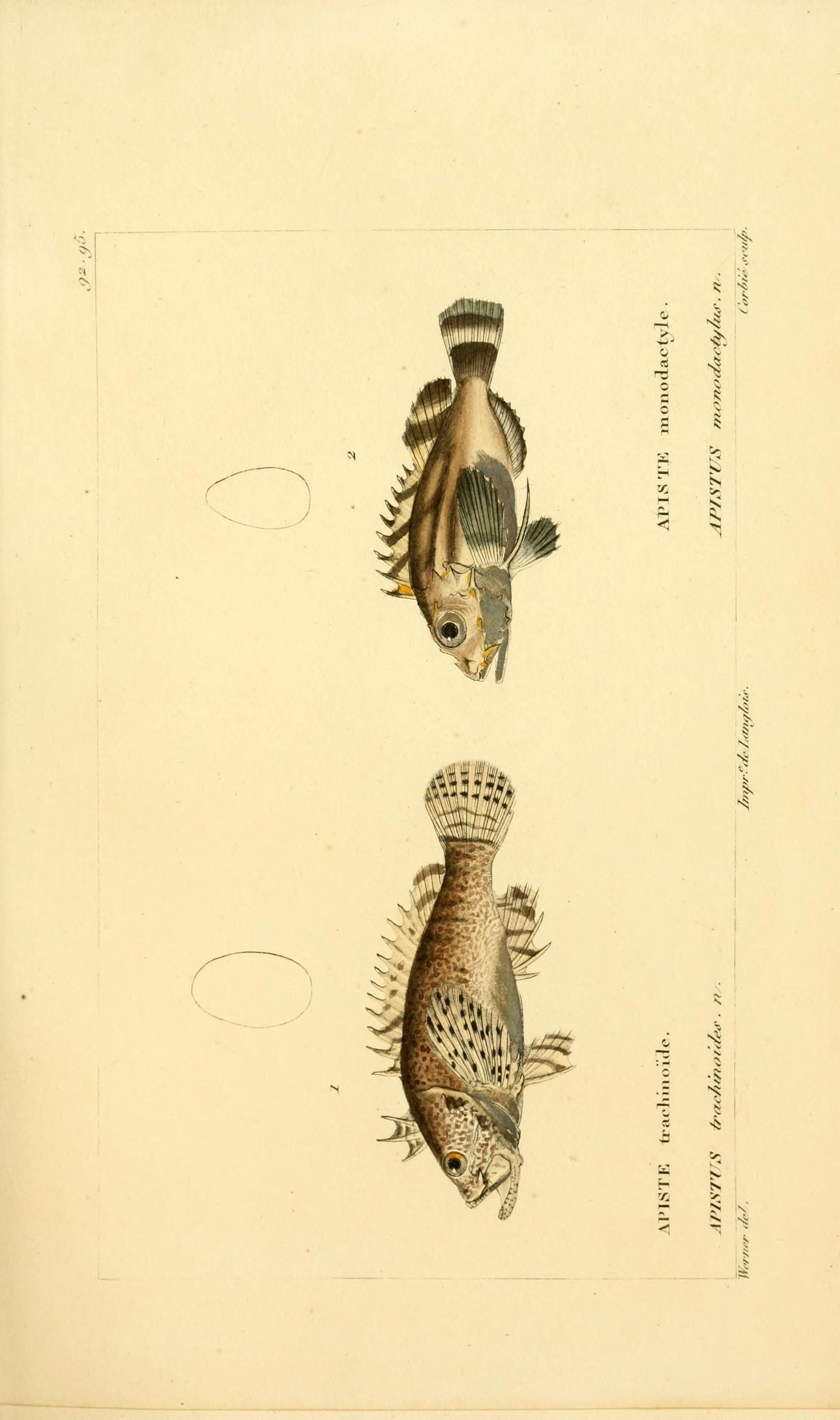 Image of <i>Vespicula trachinoides</i> (Cuvier 1829)