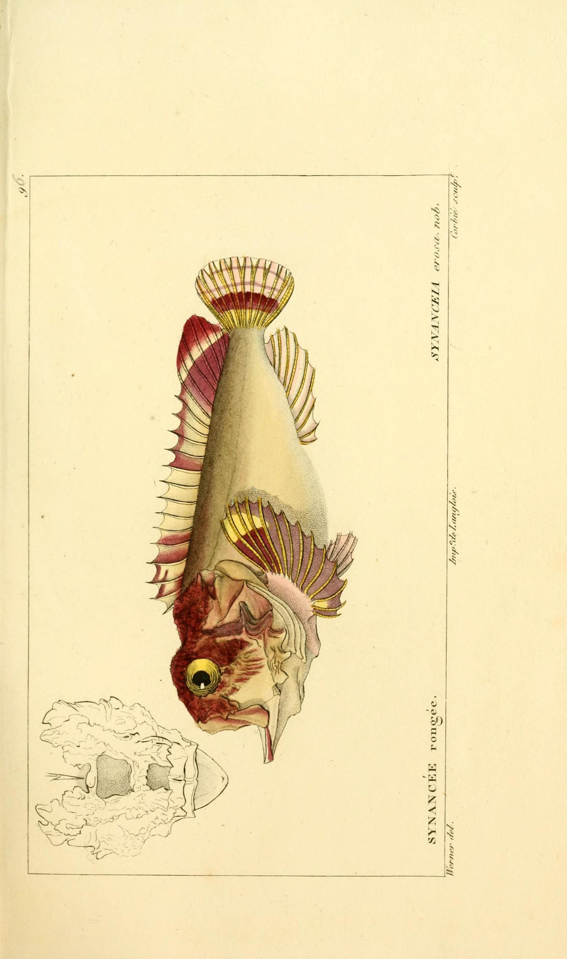 Image of Daruma stinger