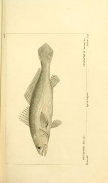 Image of Acoupa weakfish