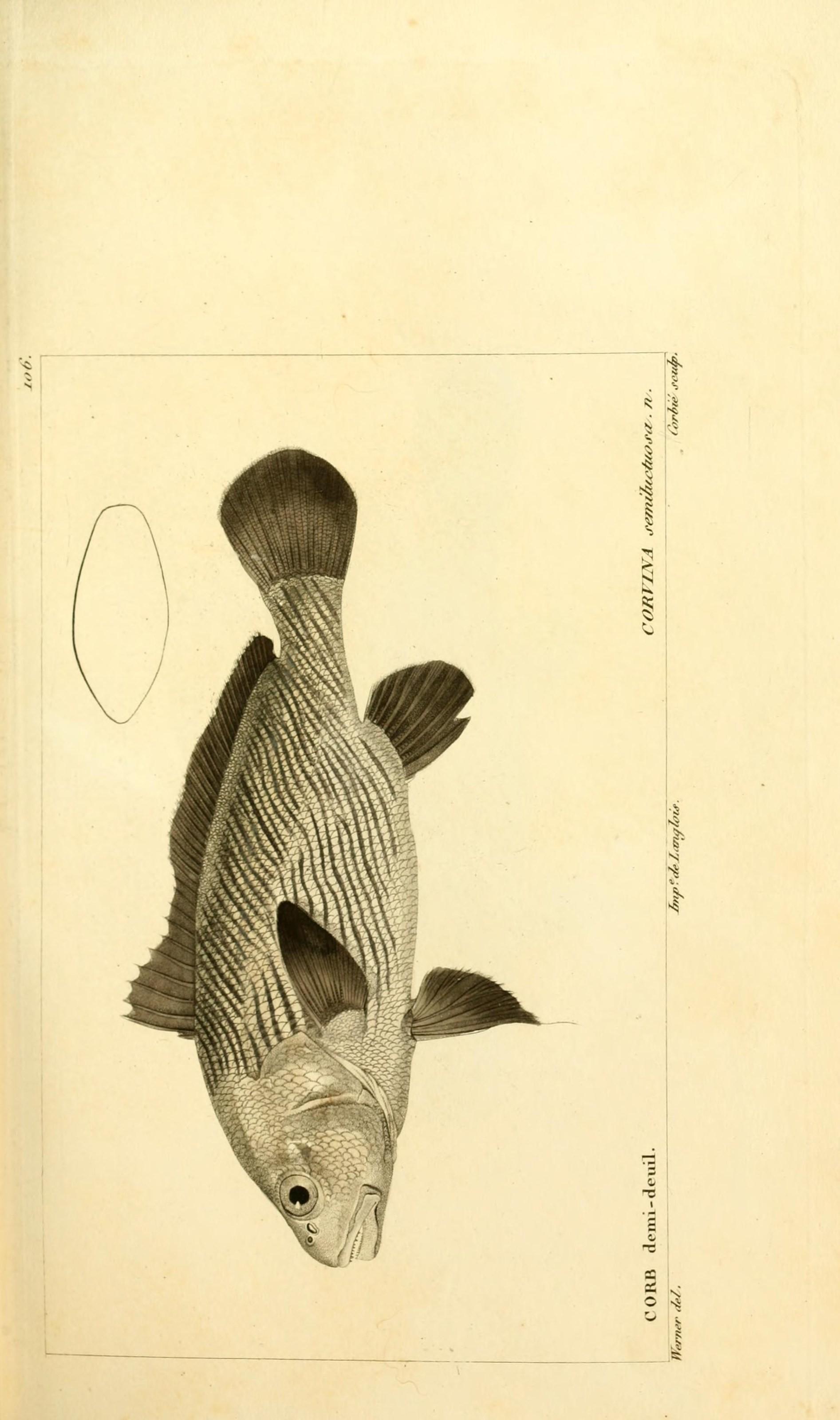 Image of Croaker