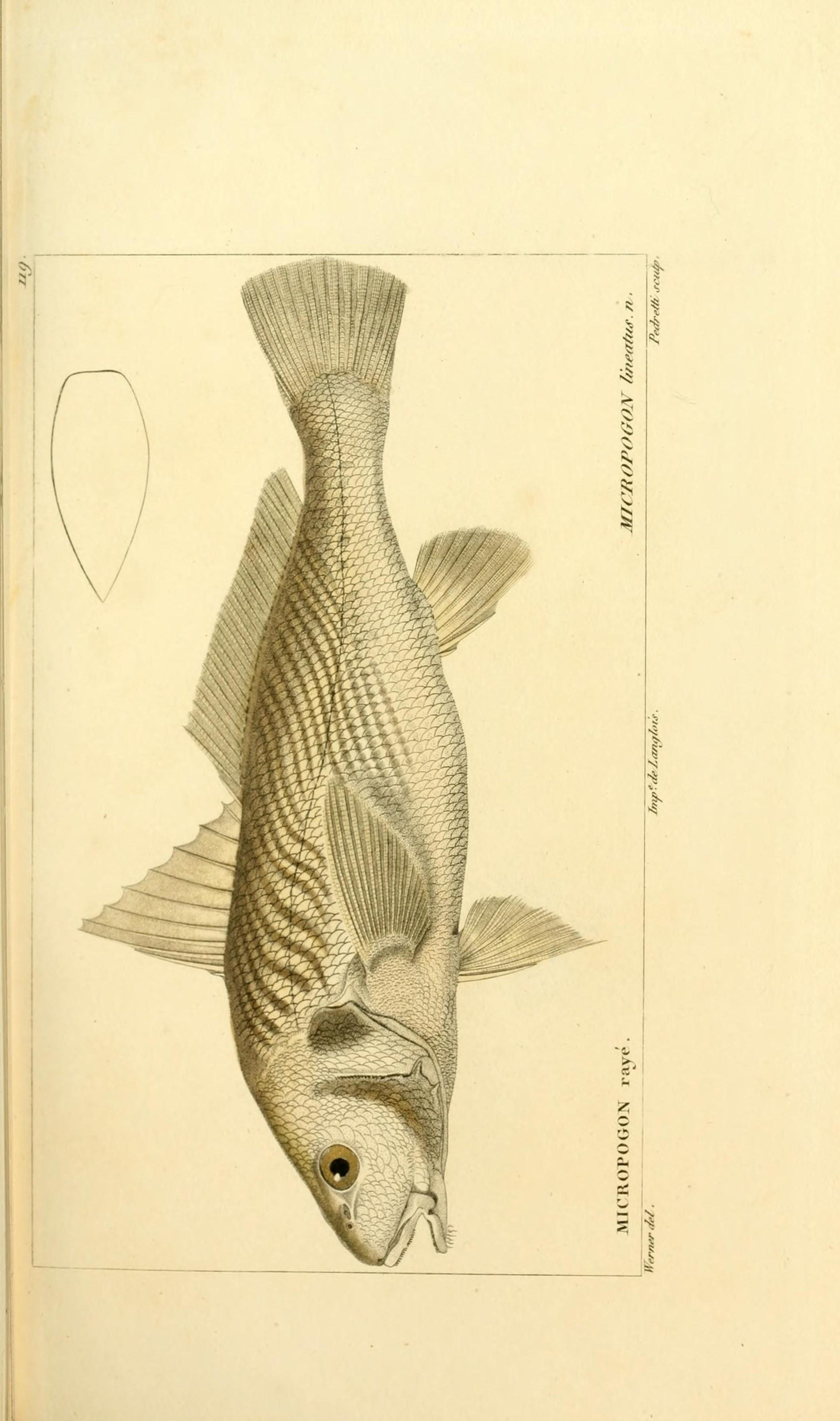 Image of Atlantic Croaker