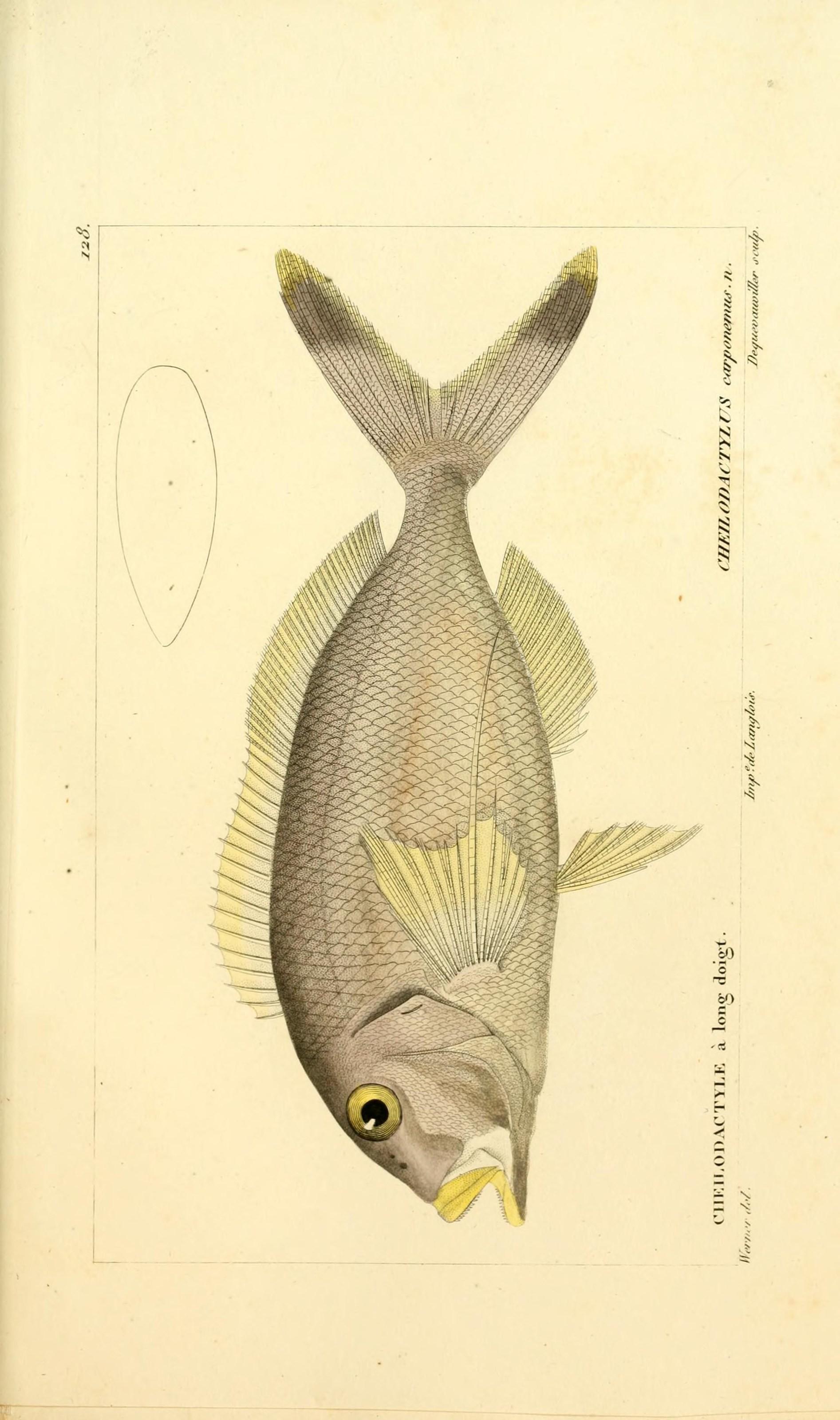 Image of Tarakihi