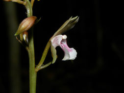 Image of Monk orchid