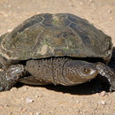 Image of Black Spiny-necked Swamp Turtle