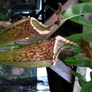 Image of tropical pitcher plants