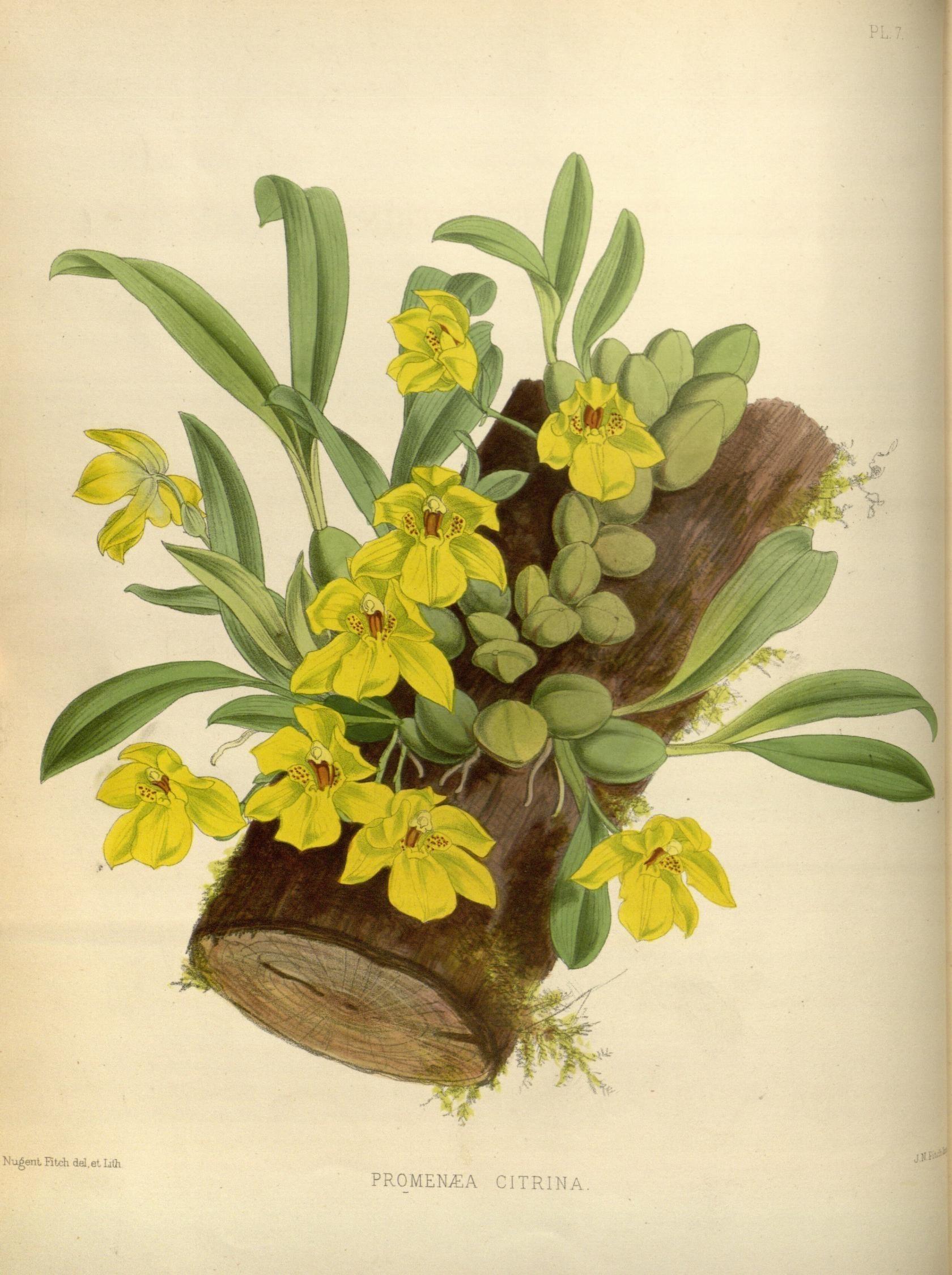Image of <i>Promenaea xanthina</i> (Lindl.) Lindl.