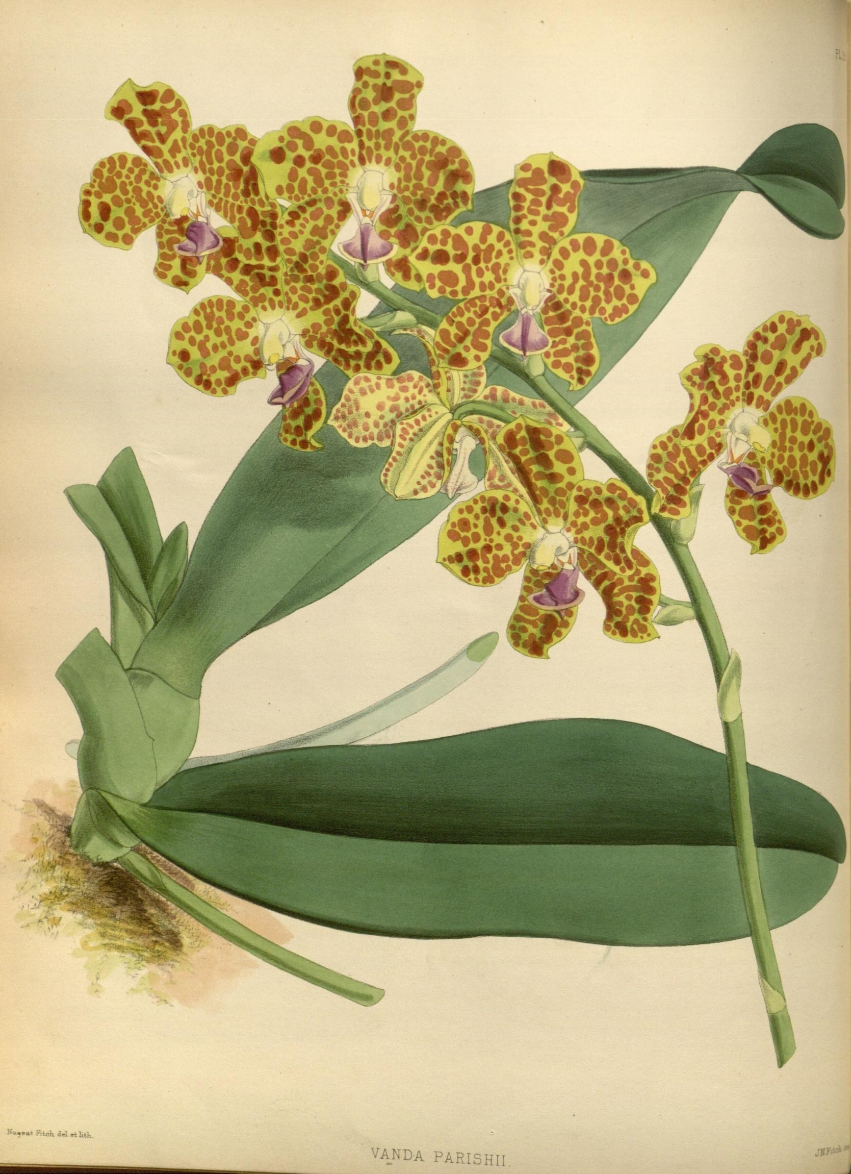 Image of <i>Hygrochilus parishii</i> (Veitch & Rchb. f.) Pfitzer