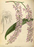 Image of <i>Aerides multiflora</i> Roxb.