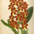 Image of <i>Otoglossum brevifolium</i> (Lindl.) Garay & Dunst.