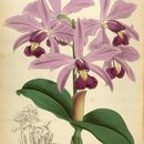 Image of Violet Cattleya