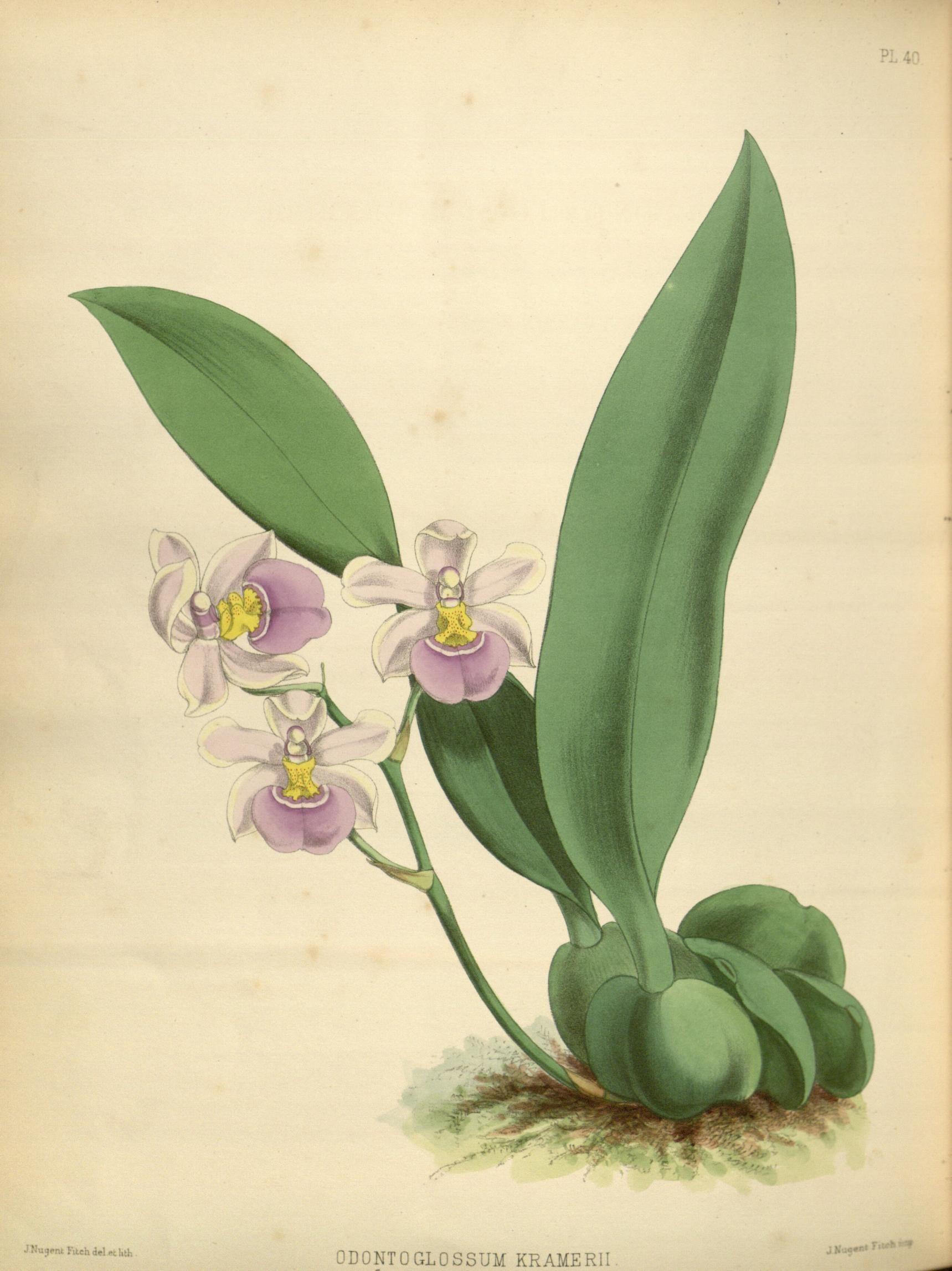 Image of <i>Rossioglossum krameri</i> (Rchb. fil.) M. W. Chase & N. H. Williams