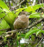 Image of Barred Puffbird