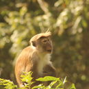 Image of Toque macaque