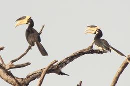 Image of Malabar Pied Hornbill