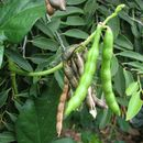 Image of notched cowpea