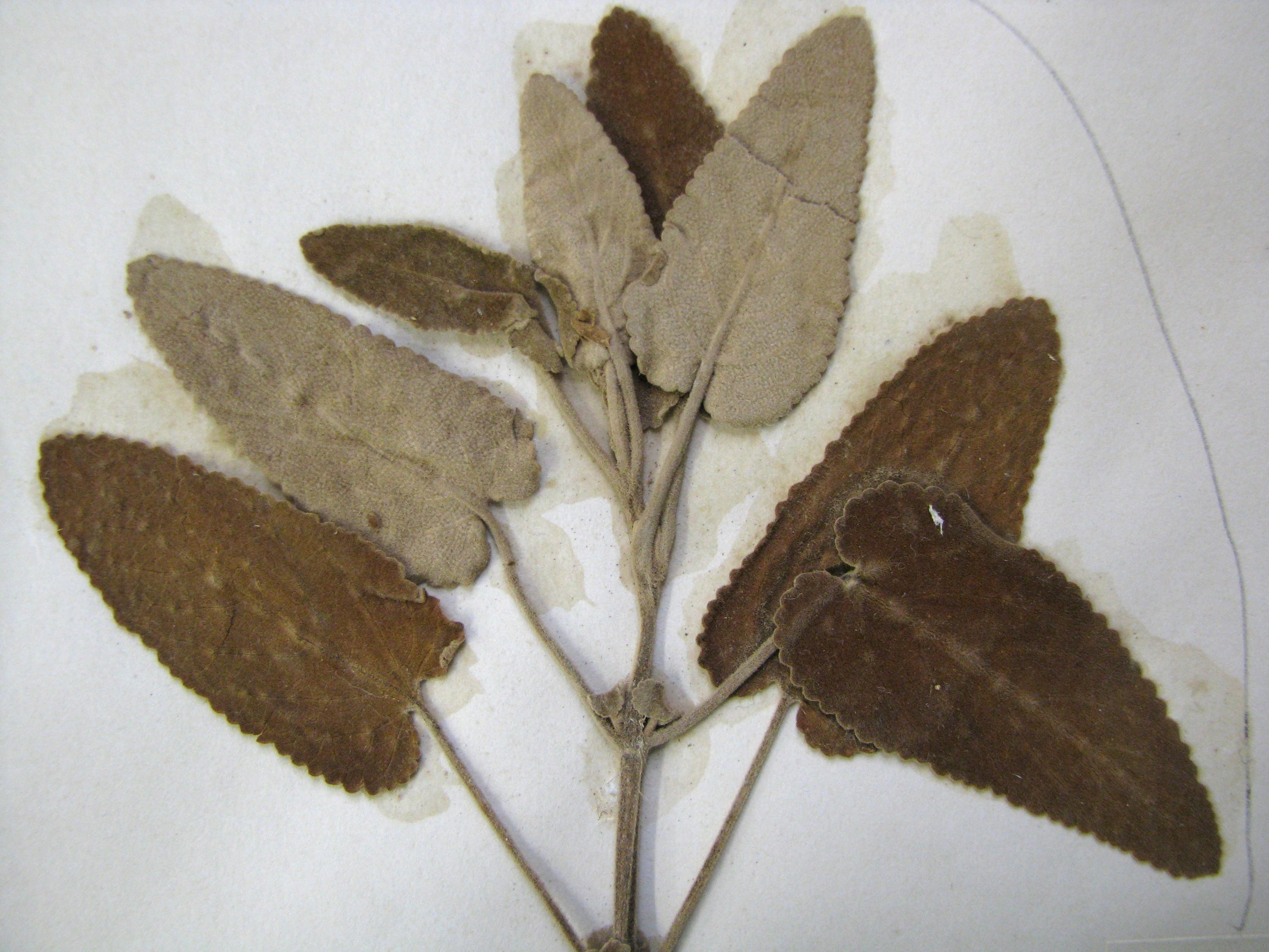 Image of Molokai islandmint