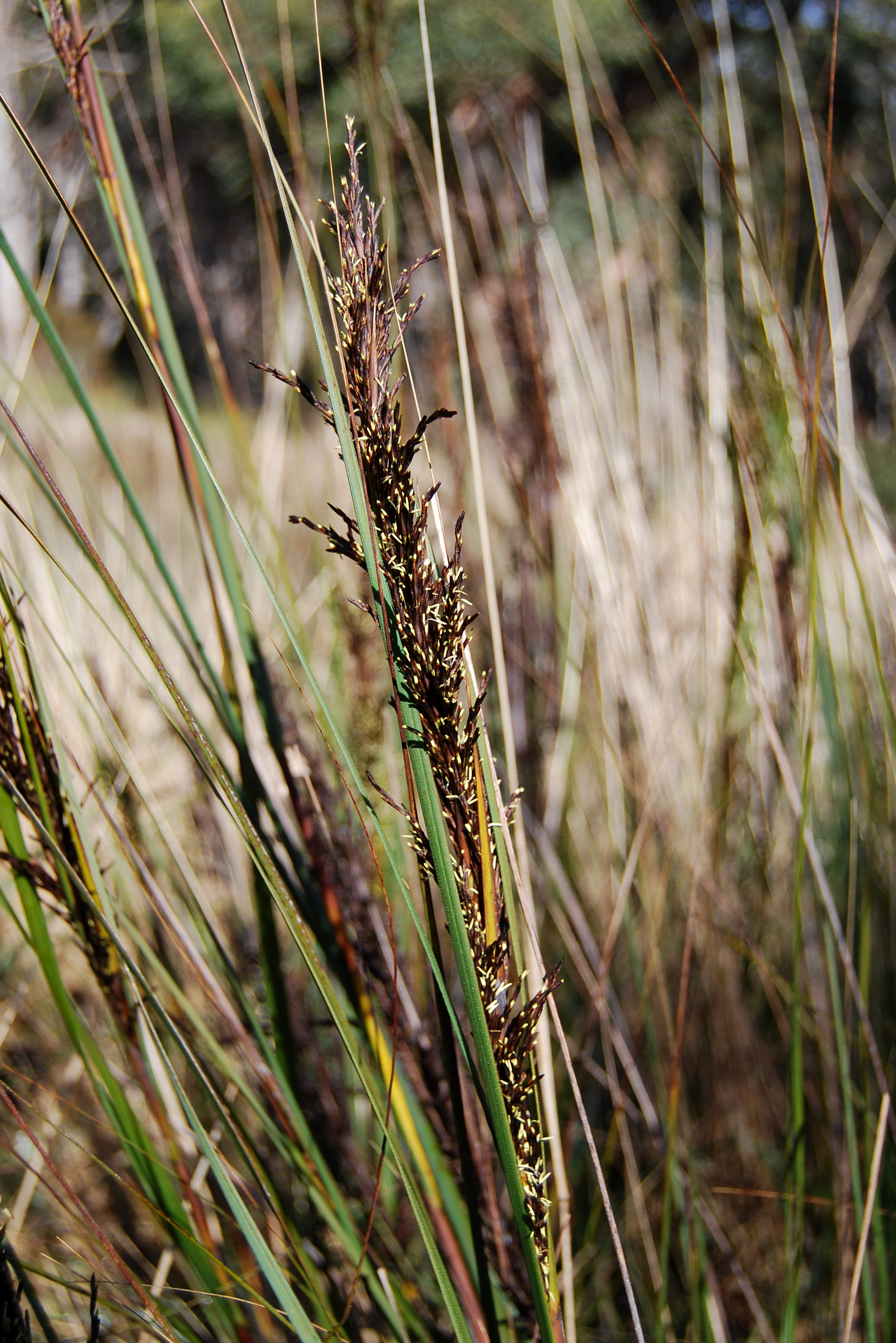 Image of <i>Gahnia radula</i> (R. Br.) Benth.