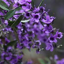 Image of Lilac Mint-bush