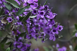 Image of Lilac Mint-bush