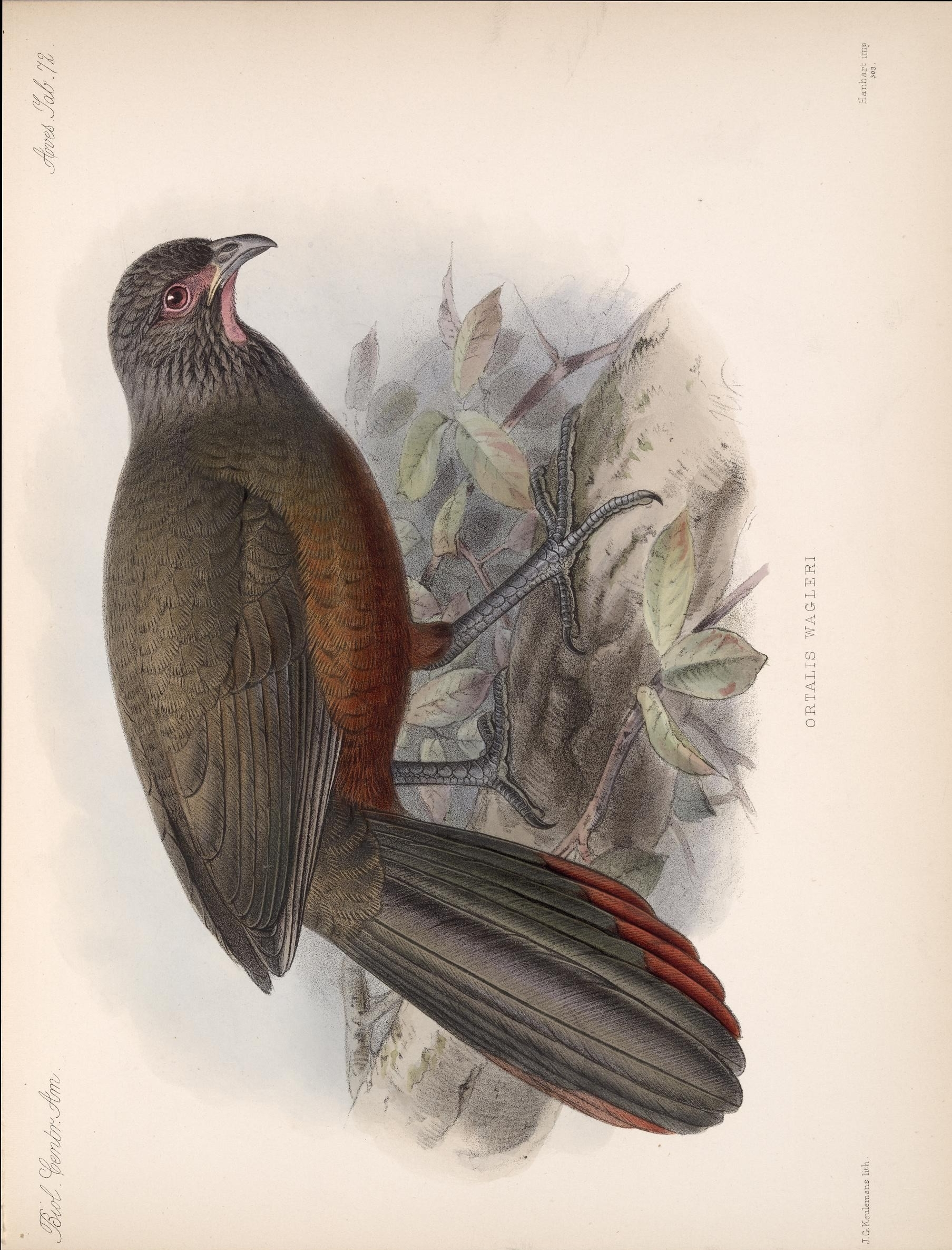 Image of Rufous-bellied Chachalaca