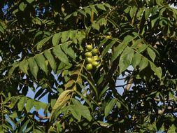 Image of <i>Juglans ailantifolia</i>