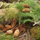 Image of Yezo spruce