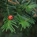 Image of Japanese Yew