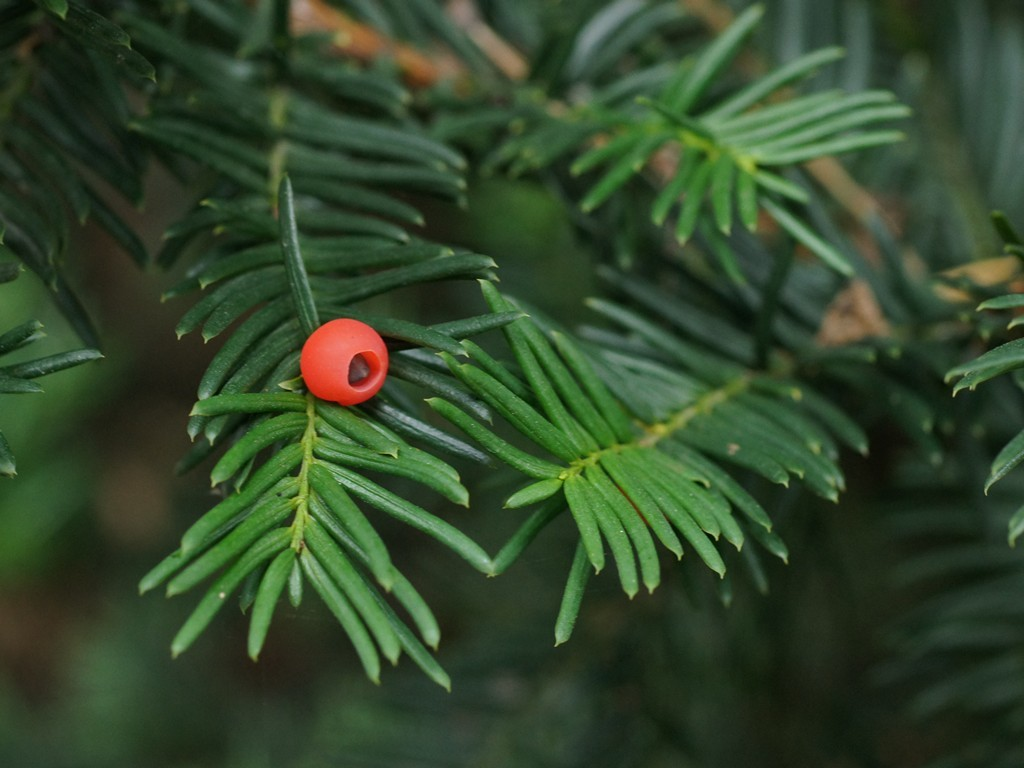 Image of Japanese Yew
