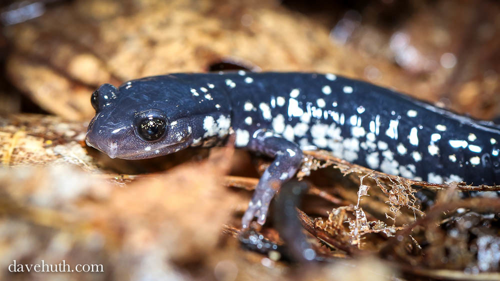 Image of Northern slimy salamander