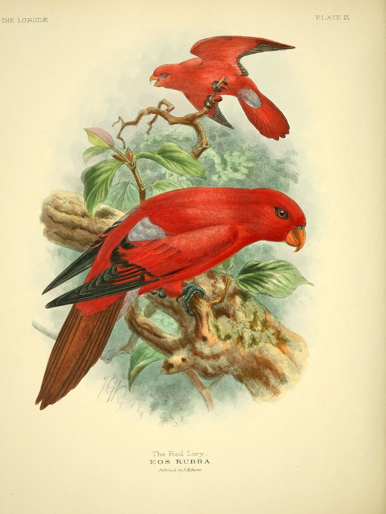 Image of <i>Eos rubra</i>