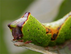Image of sallow kitten (moth)