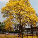 Image of yellow poui