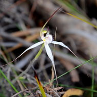 Image of <i>Caladenia saggicola</i> D. L. Jones