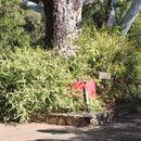 Image of <i>Acacia alata</i> ssp. <i>biglandulosa</i>