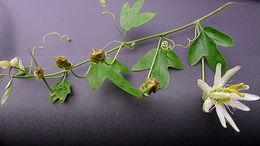 Image of <i>Passiflora setacea</i> DC.