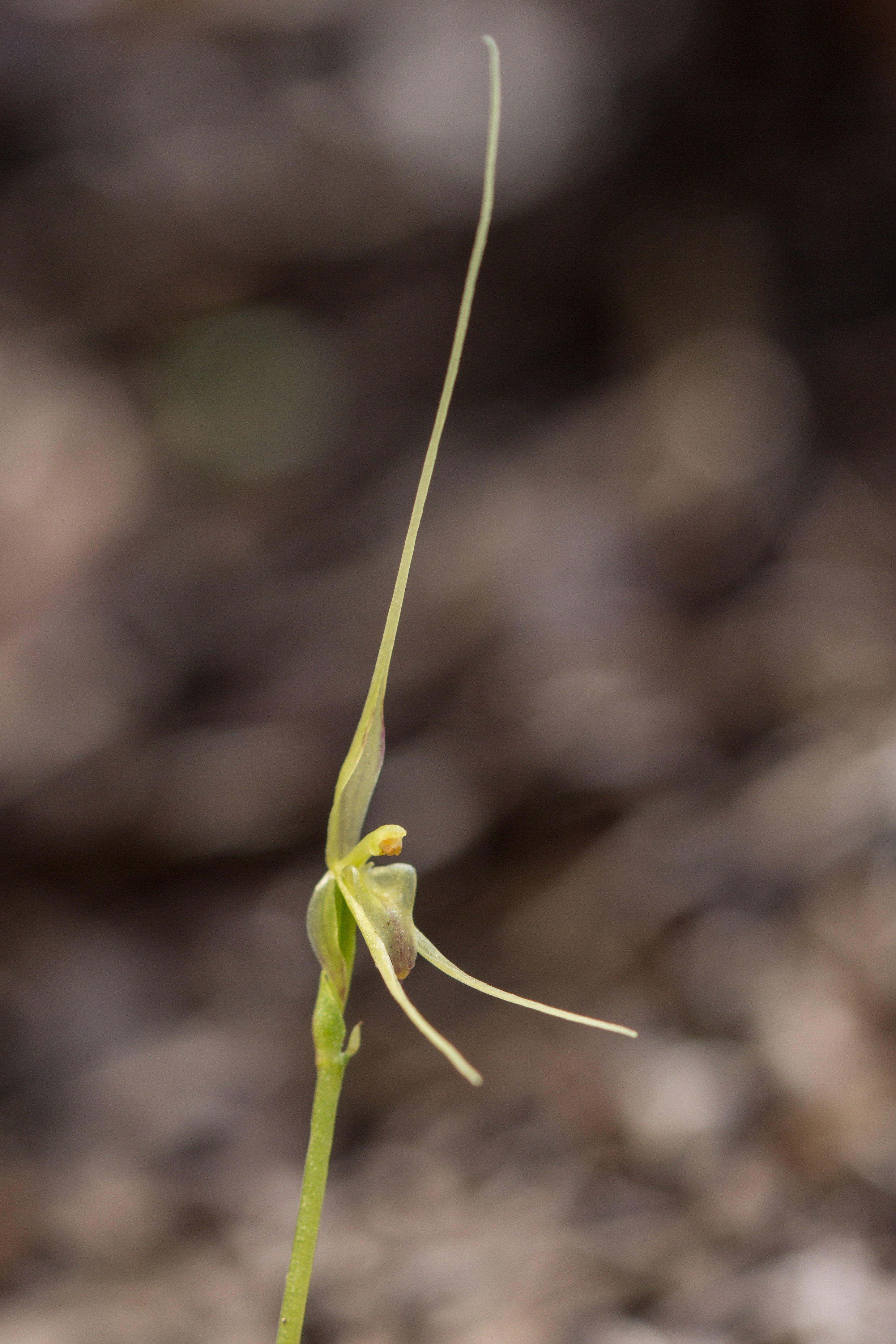 Image of Mayfly orchid