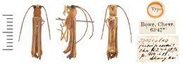 Image of <i>Oberea fuscipennis</i> (Chevrolat 1852)