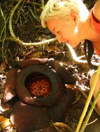 Image of <i>Rafflesia tuan-mudae</i>