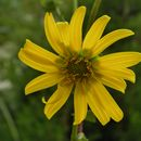 Image of starry rosinweed
